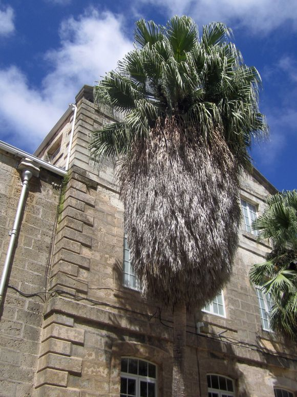 Snuffleupagus Palm Tree
